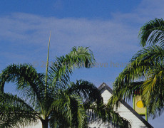 Yellow Shutters and Palms
